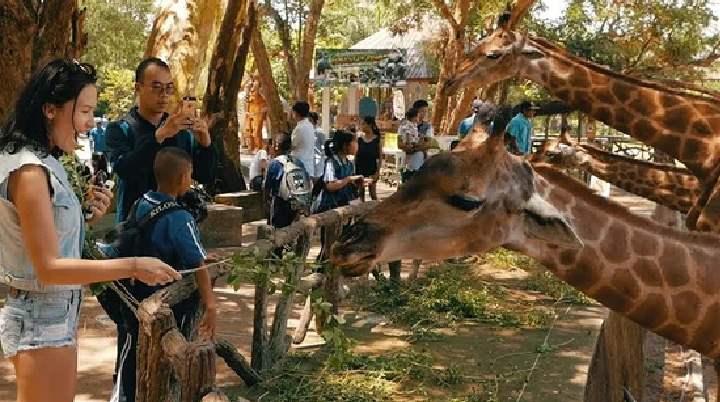 Жирафы в зоо