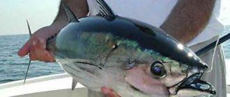 Очень привлекает мысль о ловле таких жителей морских глубин, как тунец
