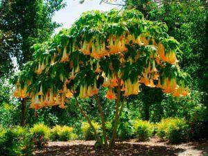 Это влаголюбивое растение завезено в Тайланд