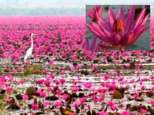 Ни один Тайский праздник не обходится без использования цветов.