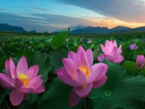 Лотосу в Тайланде поэты посвящали стихи