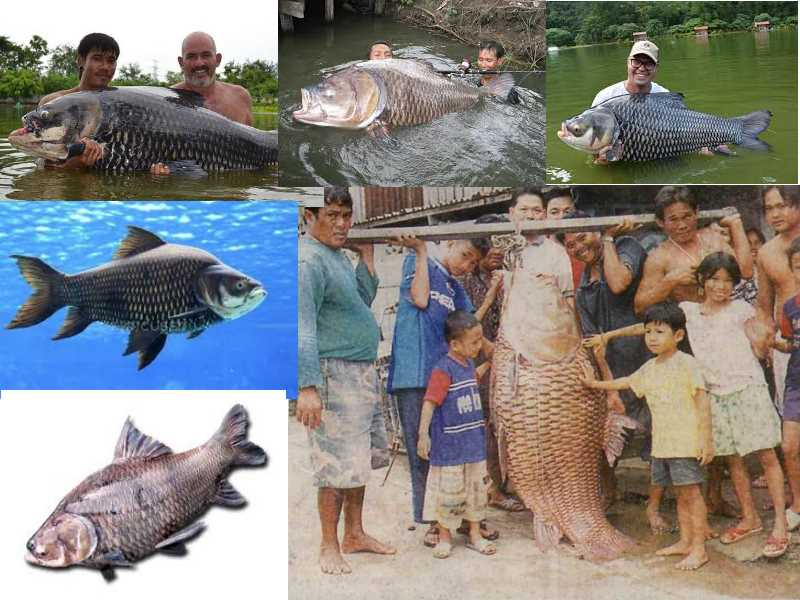 одни из самых популярных видов рыб для ловли в Тайланде для новичков